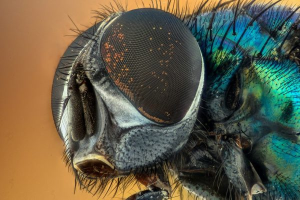 closeup of fly