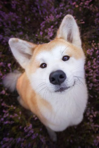 An adorable wallpaper of a Shiba Inu in a field of flowers.