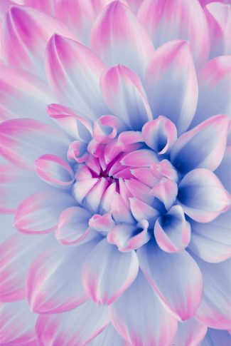 A beautiful wallpaper of a flower in periwinkle.
