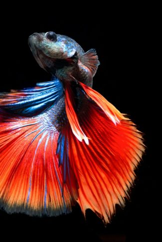 A classic but cool wallpaper of a Siamese Fighting Fish in bright orange and blue.