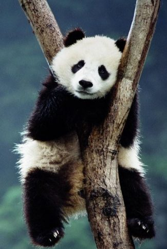A very adorable wallpaper of a baby panda chilling while hugging a tree.