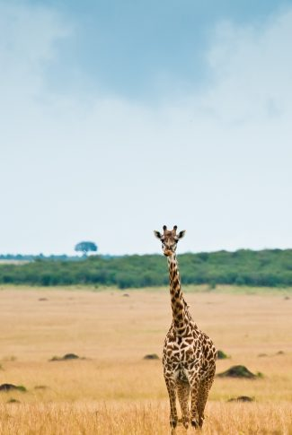 A beautiful wallpaper of a giraffe roaming around the wild.