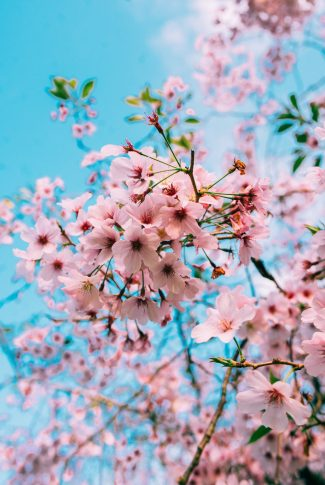 A beautiful spring wallpaper of the Cherry Blossom in full bloom.
