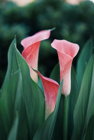Download Coral Calla Lilies Wallpaper Cellularnews