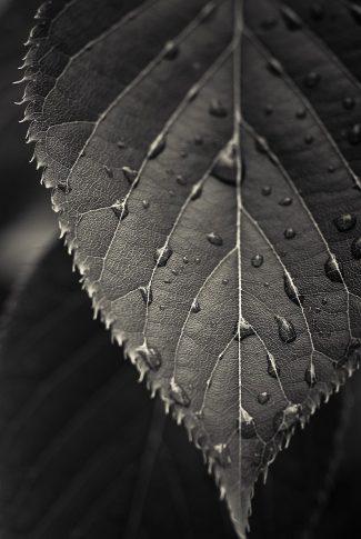 Download Black Leaf And Dew Drops Wallpaper Cellularnews