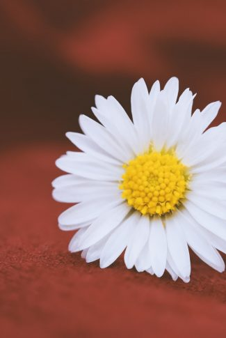 A beautiful wallpaper of a single Chamomile in a classic red background.