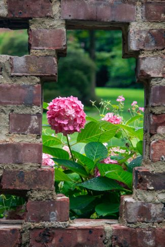 A beautiful spring wallpaper of a pink Hydrangea plant behind the windows of a brick wall.