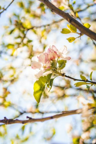 A beautiful spring wallpaper of Cherry Blossom in a tree branch.