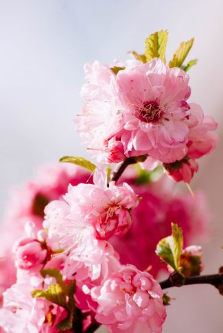 A beautiful spring wallpaper of Cherry Blossoms up close.