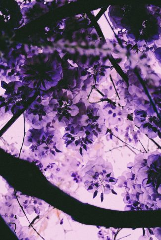 A beautiful spring wallpaper of purple Clematis flowers.