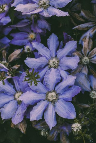 A beautiful spring wallpaper of a purple Leather Flower plant.