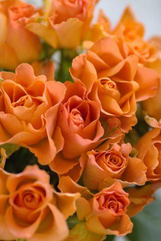 A beautiful spring wallpaper of orange Garden Roses.